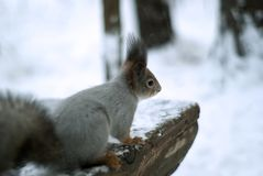 Eurasian red squirrel in grey winter coat with ear-tufts in the winter snow-covered forest in the Ural region. Eurasian red squirrel in grey winter coat with ear Stock Photos