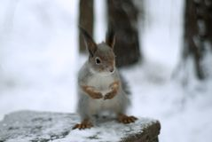 Eurasian red squirrel in grey winter coat with ear-tufts in the winter snow-covered forest in the Ural region. Eurasian red squirrel in grey winter coat with ear Stock Photography