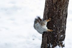 Eurasian red squirrel in grey winter coat with ear-tufts in the winter snow-covered forest in the Ural region. Eurasian red squirrel in grey winter coat with ear Stock Image