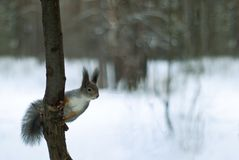 Eurasian red squirrel in grey winter coat with ear-tufts in the winter snow-covered forest in the Ural region. Eurasian red squirrel in grey winter coat with ear Royalty Free Stock Images