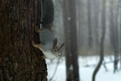 Eurasian red squirrel in grey winter coat with ear-tufts in the winter snow-covered forest in the Ural region. Eurasian red squirrel in grey winter coat with ear Royalty Free Stock Photo