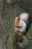 Eurasian red squirrel Stock Image