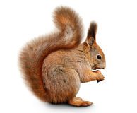 Eurasian Red Squirrel In Front Of A White Background Stock Photos