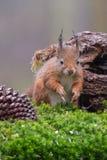 Eurasian red squirrel Royalty Free Stock Photos