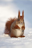 Eurasian Red Squirrel posing on white snow Stock Images