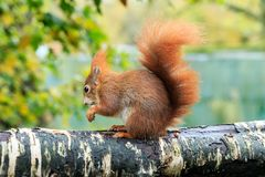 An Eurasian red squirrel on a post. The red squirrel or Eurasian red squirrel is a species of tree squirrel in the genus Sciurus common throughout Eurasia. The Stock Photos