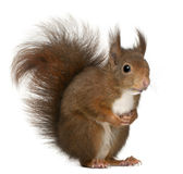 Eurasian Red Squirrel, Sciurus Vulgaris Stock Image