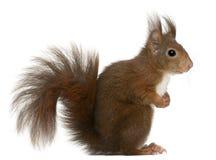 Eurasian red squirrel, Sciurus vulgaris Stock Images