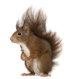 Eurasian red squirrel, Sciurus vulgaris Stock Photos