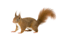 Eurasian red squirrel - Sciurus vulgaris (2 years) Stock Images