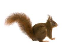 Eurasian red squirrel - Sciurus vulgaris (2 years) Stock Photography