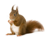 Eurasian red squirrel - Sciurus vulgaris (2 years) stock photography
