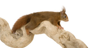 Eurasian red squirrel - Sciurus vulgaris (2 years) Stock Image