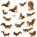 Eurasian red squirrel - Sciurus vulgaris (2 years) Royalty Free Stock Photo