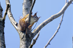 Eurasian red squirrel, sciurus vulgaris Stock Images