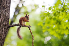 Eurasian red squirrel (Sciurus vulgaris) Royalty Free Stock Images