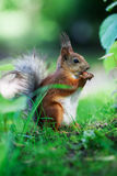 Eurasian red squirrel (Sciurus vulgaris) Royalty Free Stock Photo