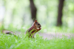 Eurasian red squirrel (Sciurus vulgaris) Stock Image
