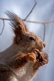 Squirrel – predator: this cute rodent chews a bone! Royalty Free Stock Photos