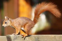 Eurasian red squirrel / Sciurus vulgaris climbing up a trellis Stock Photography