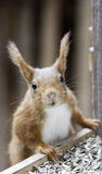 Eurasian red squirrel-Sciurus vulgaris Royalty Free Stock Photo