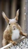 Eurasian red squirrel-Sciurus vulgaris. Close up of Eurasian red squirrel Royalty Free Stock Photo