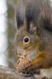Eurasian red squirrel (Sciurus vulgaris) Stock Photography