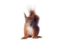 Eurasian red squirrel - Sciurus vulgaris isolated. White background Royalty Free Stock Photo