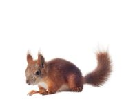 Eurasian red squirrel - Sciurus vulgaris isolated. White background Royalty Free Stock Photos