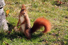 Eurasian red squirrel / Sciurus vulgaris on the lawn Stock Photography
