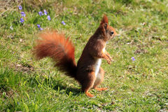 Eurasian red squirrel / Sciurus vulgaris on the lawn Royalty Free Stock Images