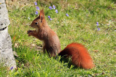 Eurasian red squirrel / Sciurus vulgaris on the lawn Stock Photos