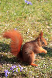 Eurasian red squirrel / Sciurus vulgaris on the lawn Royalty Free Stock Photo