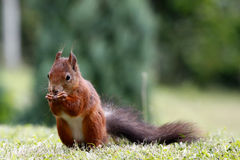 Eurasian red squirrel / Sciurus vulgaris on the lawn Royalty Free Stock Photography