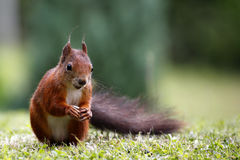Eurasian red squirrel / Sciurus vulgaris on the lawn Stock Image