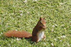 Eurasian red squirrel / Sciurus vulgaris on the lawn eating seeds Stock Photo