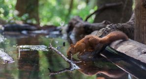 Eurasian Red Squirrel drinking at forest pool royalty free stock image