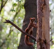 Eurasian Red Squirrel climbing on pine tree. stock photo