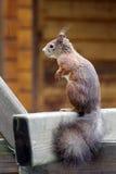 Eurasian red squirrel / Sciurus vulgaris on the outlook Stock Photo