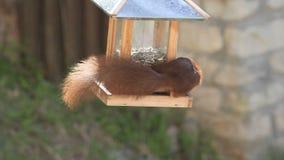 Eurasian red squirrel / Sciurus vulgaris plundering bird feeder stock footage
