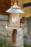 Eurasian red squirrel / Sciurus vulgaris plundering bird feeder Royalty Free Stock Photos
