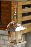 Eurasian red squirrel / Sciurus vulgaris plundering bird feeder Stock Image