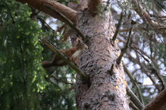 Eurasian red squirrel (Sciurus vulgaris) sitting on a pine Stock Photo