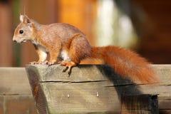 Eurasian red squirrel / Sciurus vulgaris sitting on a trellis Stock Photography