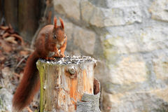 Eurasian red squirrel / Sciurus vulgaris on a stump Stock Images