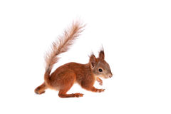 Eurasian red Squirrel, Sciurus Vulgaris on white Stock Images