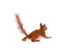 Eurasian red Squirrel, Sciurus Vulgaris on white Royalty Free Stock Photography