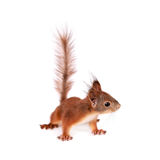 Eurasian red Squirrel, Sciurus Vulgaris on white. Eurasian red Squirrel, Sciurus Vulgaris, isolated on white background royalty free stock image