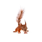 Eurasian red Squirrel, Sciurus Vulgaris on white Royalty Free Stock Images