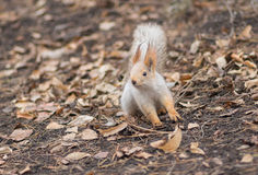 Eurasian red squirrel in search of nuts on the ground Royalty Free Stock Image